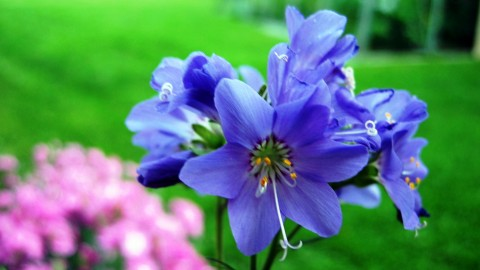 Polemonium wallpapers high quality