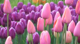 Sale Of Tulips Best Wallpaper
