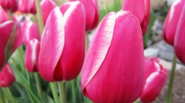 Sale Of Tulips High Quality Wallpaper