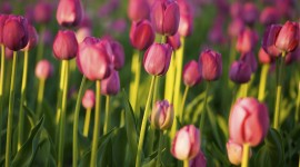 Sale Of Tulips Wallpaper Background