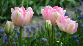Sale Of Tulips Wallpaper For Desktop