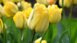 Sale Of Tulips Wallpaper For PC