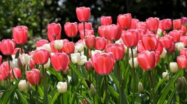 Sale Of Tulips Wallpaper Free