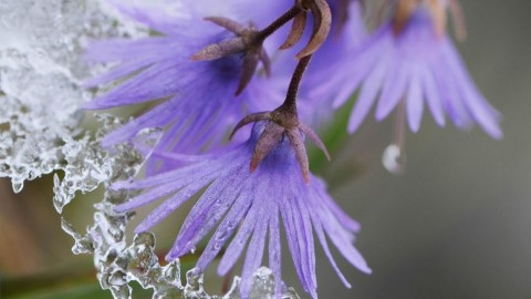 Soldanella wallpapers high quality