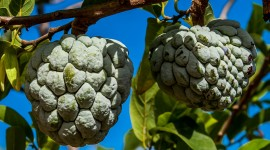Sugar Apple Wallpaper Free