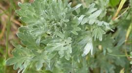 Artemisia Absinthium Desktop Wallpaper HD