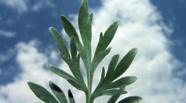 Artemisia Absinthium Photo