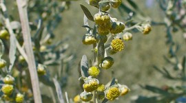 Artemisia Absinthium Wallpaper For IPhone
