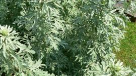 Artemisia Absinthium Wallpaper For IPhone#2