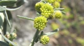 Artemisia Absinthium Wallpaper Free