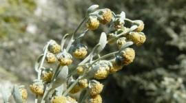 Artemisia Absinthium Wallpaper HQ