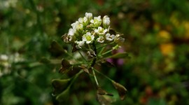 Capsella Bursa-Pastoris Photo