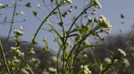 Capsella Bursa-Pastoris Photo#3