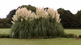 Cortaderia Photo Download