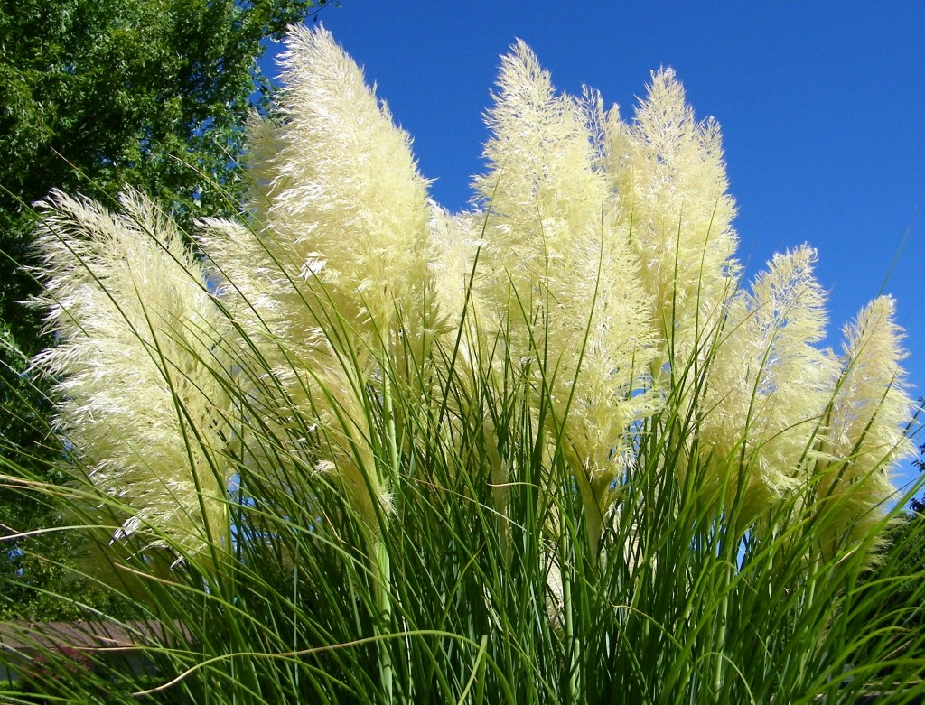 Cortaderia wallpapers HD