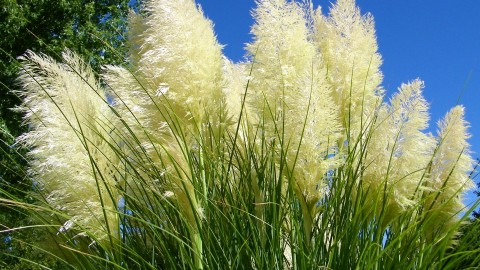 Cortaderia wallpapers high quality