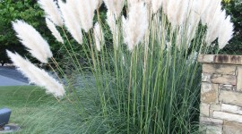 Cortaderia Wallpaper For IPhone
