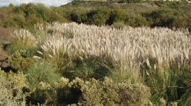 Cortaderia Wallpaper Full HD