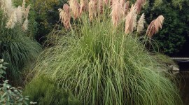 Cortaderia Wallpaper Gallery