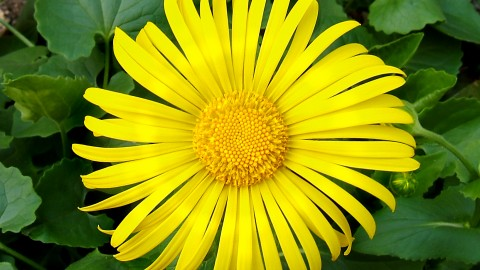 Doronicum wallpapers high quality