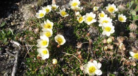 Dryas Wallpaper Gallery