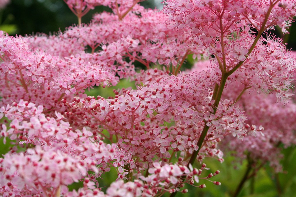 Filipendula wallpapers HD