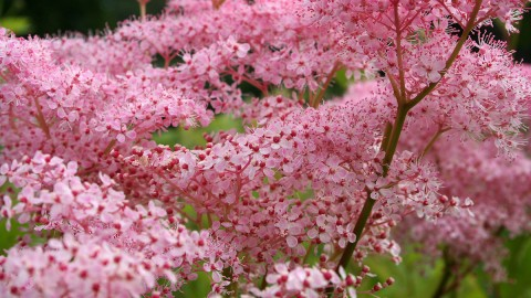 Filipendula wallpapers high quality