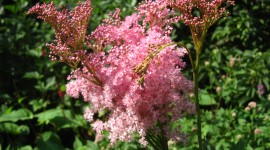 Filipendula Photo
