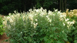 Filipendula Photo Download