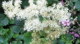 Filipendula Photo Free