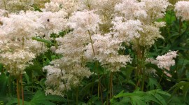 Filipendula Wallpaper For Android