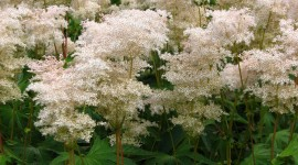 Filipendula Wallpaper For The Smartphone