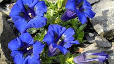 Gentiana Acaulis wallpapers high quality