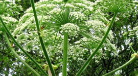 Hogweed Best Wallpaper