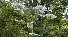 Hogweed High Quality Wallpaper