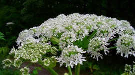 Hogweed Wallpaper 1080p