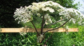 Hogweed Wallpaper