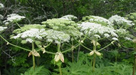 Hogweed Wallpaper Download