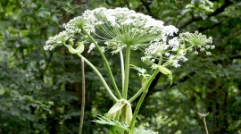 Hogweed Wallpaper Download Free