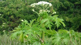 Hogweed Wallpaper For PC