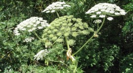 Hogweed Wallpaper Full HD