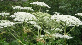 Hogweed Wallpaper HQ