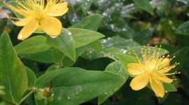 Hypericaceae Desktop Wallpaper HD