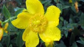 Hypericaceae Photo