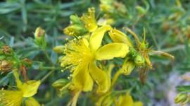 Hypericaceae Photo Free