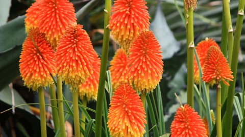 Kniphofia wallpapers high quality