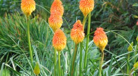 Kniphofia Wallpaper For IPhone Download