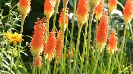 Kniphofia Wallpaper For IPhone#1
