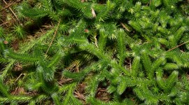 Lycopodium Clavatum Wallpaper For Desktop