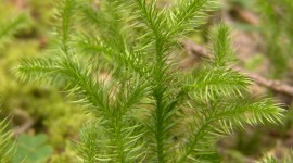 Lycopodium Clavatum Wallpaper For IPhone#2